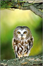 Wall sticker  Northern saw-whet owl - Dave Welling