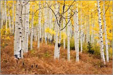 Gallery print  Aspen forest and ferns in autumn - Don Grall