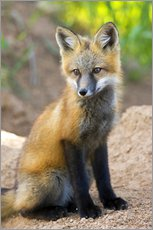 Wall sticker  Portrait of a young fox - Don Grall
