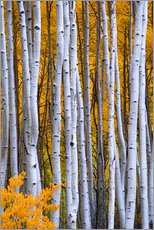 Wall sticker  Aspen trees in autumn - David Svilar