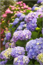 Wall sticker  Hydrangea blossom in the garden - Joanne Wells