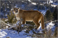 Wall Stickers  Cougar in the Snow - Joe & Mary Ann McDonald