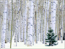 Wall sticker  Poplar forest and pine in the snow - Scott T. Smith