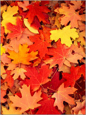 Gallery print  Colorful maple leaves - Scott T. Smith