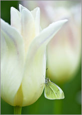 Gallery print  Butterfly on a white tulip - Nancy Rotenberg