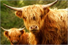 Gallery print  Highland Cattle in Yorkshire - Jay Sturdevant