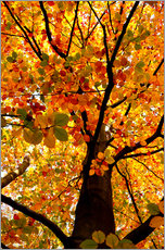 Gallery print  Autumn Tree - Atteloi
