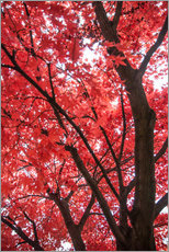 Wall sticker  Japanese maple - Hannes Cmarits
