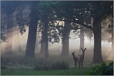 Gallery print  Two red deer in a clearing - Alex Saberi