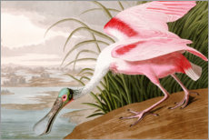 Wall sticker  Roseate Spoonbill - John James Audubon