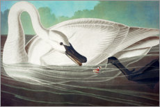 Wall sticker  Trumpeter Swan - John James Audubon