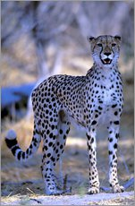 Gallery print  Attentive cheetah - Pete Oxford