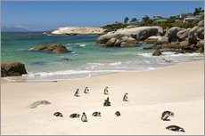 Gallery Print  Penguins at Boulders Beach - Paul Thompson