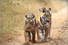 Gallery print  Bengal Tiger in wait - Jagdeep Rajput