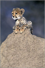 Gallery print  Cheetah baby on a stone - Theo Allofs