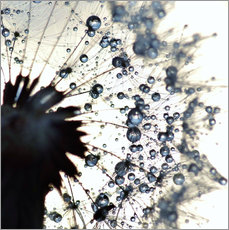 Wall sticker  Dandelion drops of water around - Julia Delgado