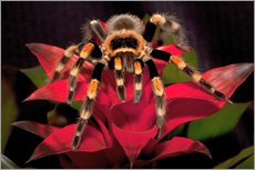 Gallery print  Red-knee tarantula - Dennis Flaherty