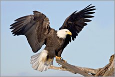 Gallery print  Eagle with outstretched wings - Charles Sleicher