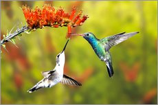 Wall sticker  Broad-billed hummingbirds on flower - Don Grall