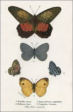 Gallery print  Butterflies - English School