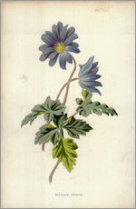 Wall sticker  Mountain Anemone - Frederick Edward Hulme