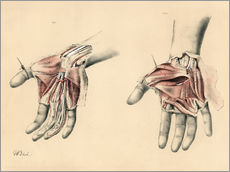 Gallery print  Upper limbs. Superficial and deep views of the palm - G. H. Ford