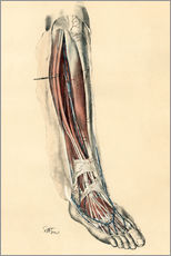 Gallery print  The lower limb area. Front of the leg and dorsum of the foot - G. H. Ford