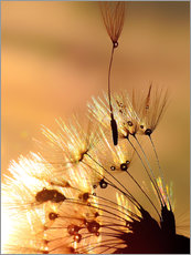 Gallery print  Dandelion golden touch - Julia Delgado