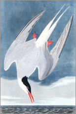 Gallery print  Tern - John James Audubon