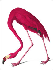 Wall Stickers  Audubon: American Flamingo. - John James Audubon