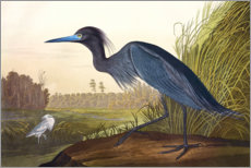 Wall sticker  Audubon: Little Blue Heron. - John James Audubon