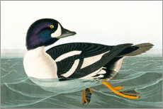 Gallery print  Audubon: Duck. - John James Audubon