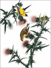 Gallery print  Audubon: Goldfinch. - John James Audubon
