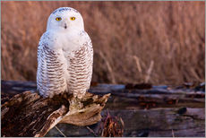 Gallery print  Snowy owl on a tree - Art Wolfe