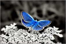 Gallery print  Blue butterfly on black colorkey II - Julia Delgado