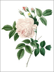 Wall sticker  Cyme Rose - Pierre Joseph Redouté