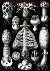 Wall sticker  Basimycetes, artistic forms of nature, picture 63 - Ernst Haeckel