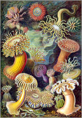 Wall Stickers  Actiniae - Ernst Haeckel