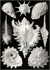 Wall sticker  Prosobranchia, (art forms of nature: graphic 53) - Ernst Haeckel