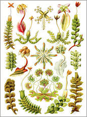 Wall sticker  Hepaticae - Ernst Haeckel