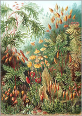 Wall sticker  Muscinae - Ernst Haeckel
