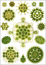 Wall sticker  Melethallia - Ernst Haeckel