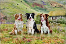 Gallery print  Border Collies - Selina Morgan