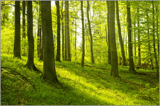 Gallery print  Magical beech forest - Oliver Henze