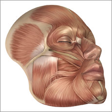 Stocktrek Images - Anatomy of human face muscles