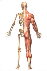 Wall Sticker  The human skeleton and muscular system, back view. - Stocktrek Images