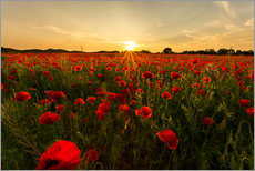 Gallery print  Field of poppies - Oliver Henze