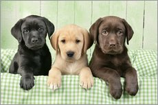 Wall sticker  Three Labradors - Greg Cuddiford