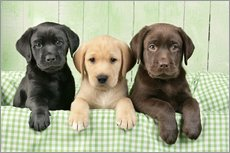 Wall Sticker  Labrador puppies - Greg Cuddiford