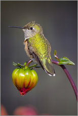 Gallery print  Hummingbird sits on flower bud - Fred Lord